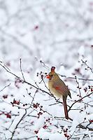 01530-20911 Northern Cardinal (Cardinalis cardinalis) female eating Common Winterberry (Ilex verticillata) in winter, Marion Co., IL