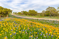 Texas Roadside Wildflower Landscape - A lovely field of yellow perky sues flowers with bluebonnets along the road in the texas hill country.  We came across these wonderful patch of wildflower with bluebonnets, yellow daisies and indian paintbrush and had to stop to capture this texas wildflower scenery as we see ever spring.  Every year it is a never ending quest to capture these lovely flowers especially in such a rural texas backroad country. The hil country is one of favorite spot to capture these flowers but not ever year is good as this is drougt or flood country.