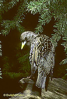 BL03-003z  Starling - winter plumage - Sturnus vulgaris