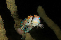 Synchiropus picturatus, Paarung vom LSD-Mandarinfisch, mating Picturesque Dragonet,  Bali, Gilimanuk, Secret Bay, Vogelinsel, Indonesien, Indopazifik, Bali, Indonesia Asien, Indo-Pacific Ocean, Asia