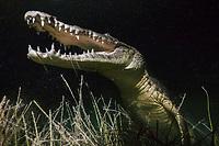 Morelet's crocodile, Crocodylus moreletii, aka Mexican crocodile, hunting at night, Cancun, Yucatan, Mexico