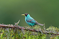 Male Green Honeycreeper (Chlorophanes spiza).  Found from Mexico to Brazil.  Photographed in Costa Rica.