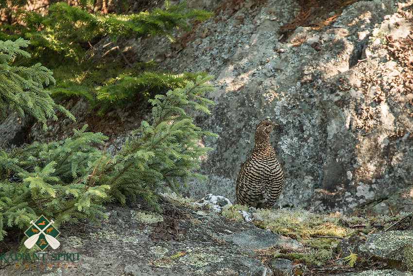 &quot;Ruffed Grouse&quot;<br />