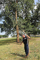 NWA Democrat-Gazette/FLIP PUTTHOFF<br /> LIGHTNING STRIKE<br /> Stan Weaver, Rogers Parks Department superintendent, picks up shards of timber Thursday Aug. 6 2015 from an elm tree that was struck by lightning near the Rogers Activity Center on Wednesday morning. The tree, near Fourth and Olive streets, spewed bark, branches and pieces of timber up to 75 yards away from the tree when it was struck during a thunderstorm.