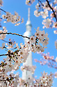 April 8, 2012, Tokyo, Japan - The Tokyo Sky Tree is seen through cherry blossoms in full bloom in Tokyo on Sunday, April 8, 2012. (Photo by Masahiro Tsurugi/AFLO) -ty-