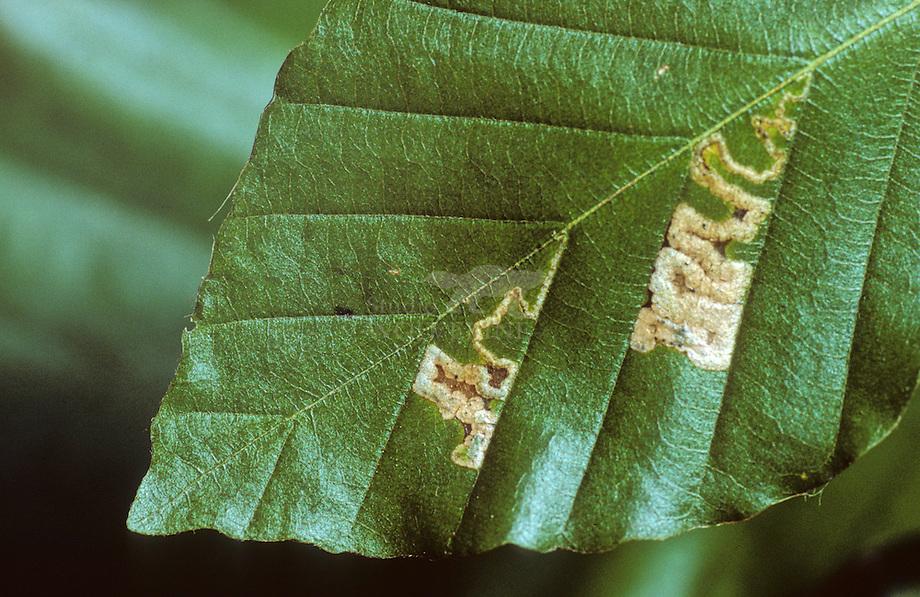 Mineermot (Stigmella tityrella)
