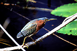 Florida: Everglades Natl Park.   Green heron.  Photo #:  flever102..Photo copyright Lee Foster, 510/549-2202, lee@fostertravel.com, www.fostertravel.com
