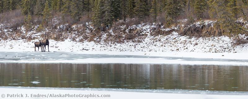 Cow moose and calf along the Koyukuk River, Brooks Range, Arctic, Alaska.