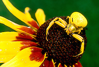 ARACHNIDS<br /> Crab Spiders (Misumena Vatia) on Black-Eyed Susan<br /> Thomisidae family-  this spider is also called the Goldenrod or the Flower spider.  Black-eyed Susan is a coneflower.