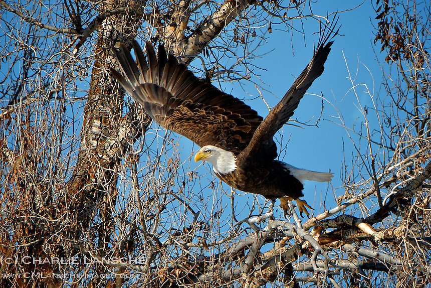 Wintering bald eagle launches from cottonwood branch along a remote mountain streem in Summit County, Utah.