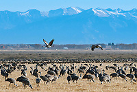 March 21, 2018: Prior to a mass liftoff, two sandhill cranes get an early start with the Sangre de Cristo mountains in the background..  Each spring, as many as 27,000 sandhill cranes migrate through Colorado's San Luis Valley and the Monte Vista National Wildlife Refuge, Monte Vista, Colorado