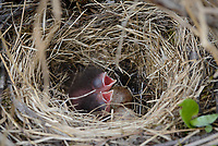 Fox Sparrow nest with eggs and chicks. Yukon Delta National Wildlife Refuge, Alaska. June.