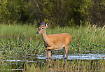White-tailed doe walking in the shallow water