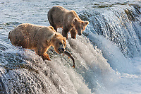 Brown bears fish for red salmon at the falls of Brooks River, Katmai National Park, southwest, Alaska.