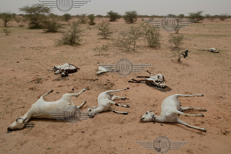 Dead goats and cattle, which had been weakened by drought and were then wiped out by a catastrophic flood. Their owner Oussenyi Moussa lost most of his herd. Lack of rain, locusts and an inadequate international response led to a food crisis, with up to three million people in need of aid.