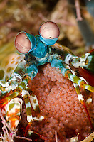 Peacock Mantis Shrimp, Odontodactylus scyllarus, with eggs. Pulau Kawula, Alor region, Indonesia, Pacific Ocean