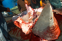 bull shark, Carcharhinus leucas, finning, caught by a monofilament net by these Mokken, Burmese sea gypsies, are removing the shark's fins for the chinese market, Mergui archipelago, Andaman sea, Indian Ocean, Burma / Myanmar, Asia