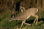 White-tailed buck doe (Odocoileus virginianus) trying to sneek past a buck