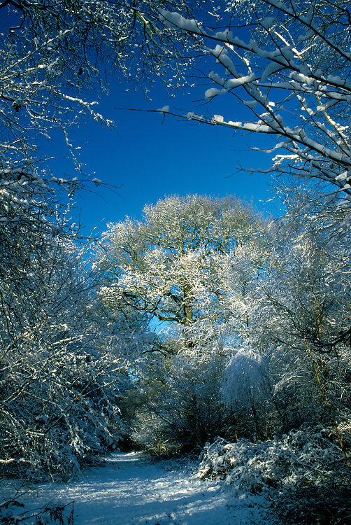 British deciduous woodland in winter snow