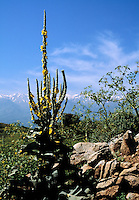 Orange mullein, Verbascum phlomoides, with the White Mountains in the background, Crete, Greece