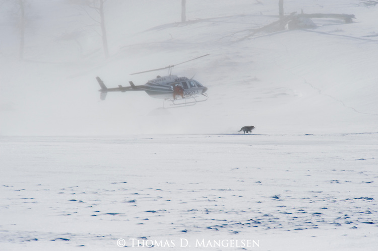Wolves from the Druid pack running from Helicopter in Yellowstone National Park, Wyoming. Helicopter there to collar wolves.