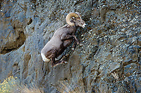 Bighorn Sheep Ram (Ovis canadensis) climbing basalt cliff face.  North Central Oregon.  Fall.  These sheep were formerly known as California Bighorn, but are now classified with Rocky Mountain Bighorn.