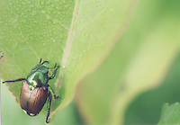 Japanese Beetle, Md.