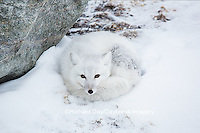 01863-01619 Arctic Fox (Alopex lagopus) in winter, Churchill Wildlife Management Area, Churchill, MB