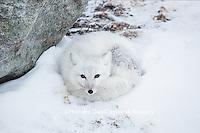 01863-01619 Arctic Fox (Alopex lagopus) in winter, Churchill Wildlife Management Area, Churchill, MB