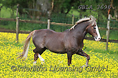 Bob, ANIMALS, REALISTISCHE TIERE, ANIMALES REALISTICOS, horses, photos+++++,GBLA3696,#a#, EVERYDAY
