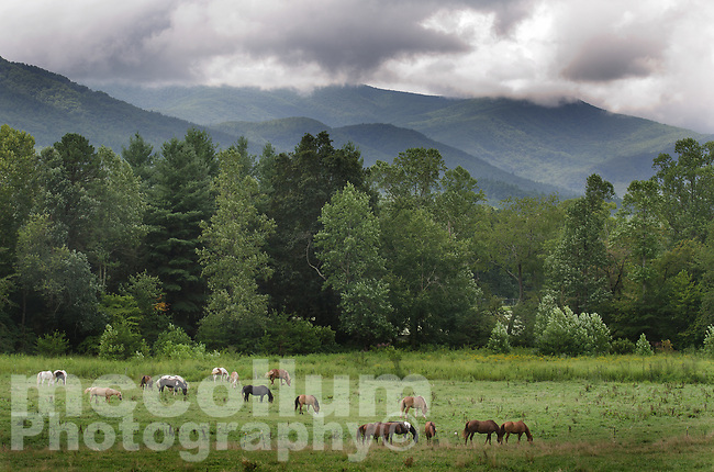 Michael McCollum<br /> 8/8/17<br /> Horses in a meadow at Cades Cove Loop Road in the Great Smoky Mountains National Park, Tennessee.