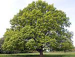 English oak tree in spring, Sutton, Suffolk, England