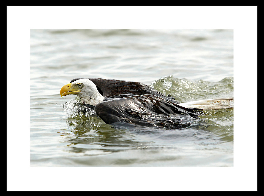 A bald eagle swims in Everglades, Florida.  © Andrew Shurtleff