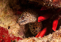 An underwater closeup of a moray with a pencil urchin off of Kahe Point along the coast of Waianae, O'ahu.