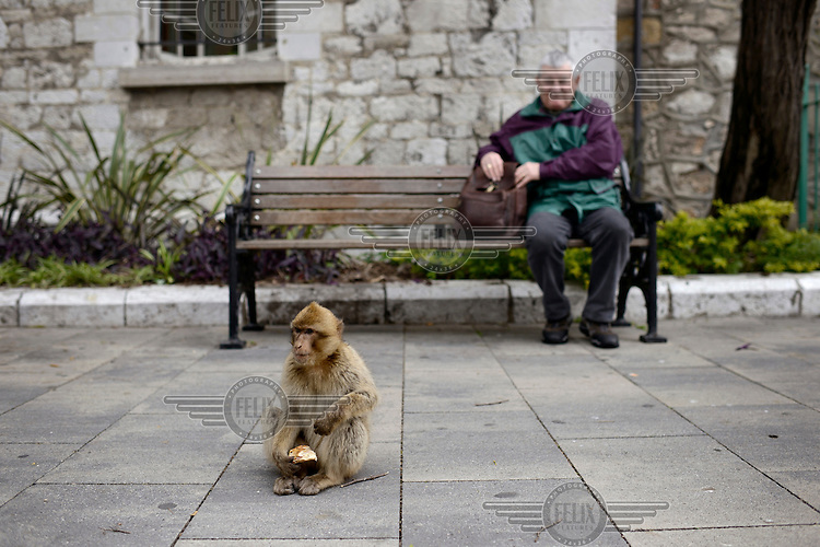 A man, resting on a bench, watches a Barbary Macques, one of a population of around 300 and the only wild monkeys in Europe, as it eats a bun. Superstition holds that if ever the Apes leave Gibraltar, the British will go too.