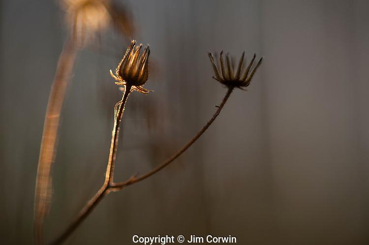 Dandelion back lit at sunrise