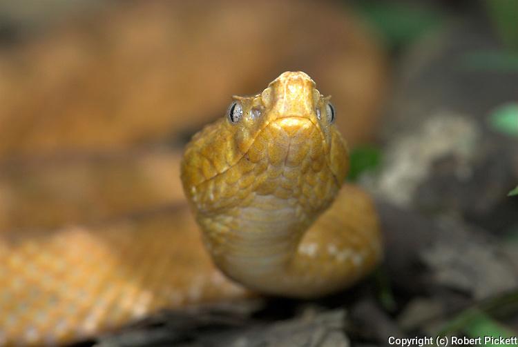 Lansberg s Viper Snake, Porthidium lansbergii, Costa Rica, tropical jungle, on forest floor, yellow, venomous pitviper, portrait.Central America....