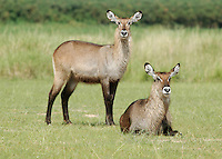 Waterbuck in Murcheson Falls National Park in northwestern Uganda. (Rick D'Elia)