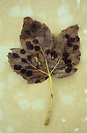 Single dry brown autumn leaf of Sycamore or Great maple or Acer pseudoplatanus tree with black fungal spots lying on antique paper