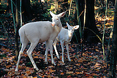 Albino white-tailed deer, doe with fawn, Odocoileus virginianus, in the Upper Peninsula of Michigan.