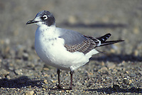 Franklin's Gull - Larus pipixcan - 1st winter