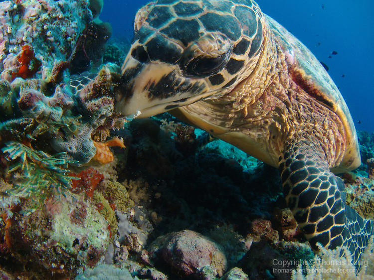 Blue Corner, Palau -- Sea turtle foraging for food.