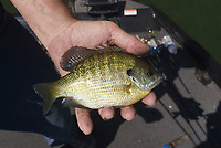 NWA Democrat-Gazette/FLIP PUTTHOFF <br /> Small jigs work to catch bluegill    May 16 2019    from flooded bushes.