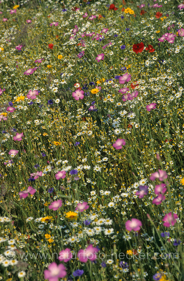 Blumenwiese, Wildblumen, artenreiche Blütenwiese, Wildblumen-Wiese