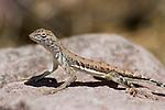 Zebra-tailed lizard, Callisaurus draconoides, Organ Pipe Cactus National Monument, Arizona
