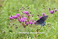 03009-015.05 Black Swallowtail (Papilio polyxenes) female on Common Ironweed (Vernonia fasciculata) Effingham County, IL