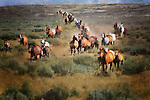 Herd of quarterhorse mares and foals, racing across sagebrush prairie, Wyoming.