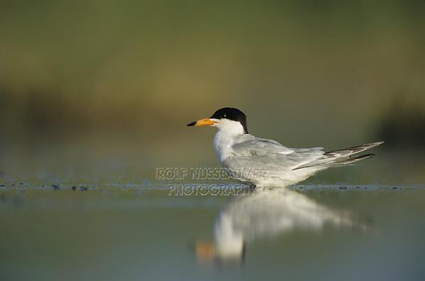 Forster's Tern, Sterna forsteri, adult, Welder Wildlife Refuge, Sinton, Texas, USA