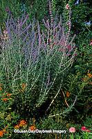 63821-04118 Russian Sage (Perovskia atriplicifolia) & Butterfly Milkweed (Asclepias tuberosa) Marion Co.   IL