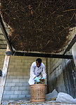 Palestinian Salem Muhanna, 26, checks mushroom beds at his own farm, in Khan Younis in the southern Gaza Strip, May 27, 2019. Muhanna cultivates and sells Oyster mashroom, where it are grown on a bed that includes briquetted straw grounds, in a grow room at his house. Photo by Mahmoud Khattab